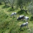 maremma cows in the olive groves