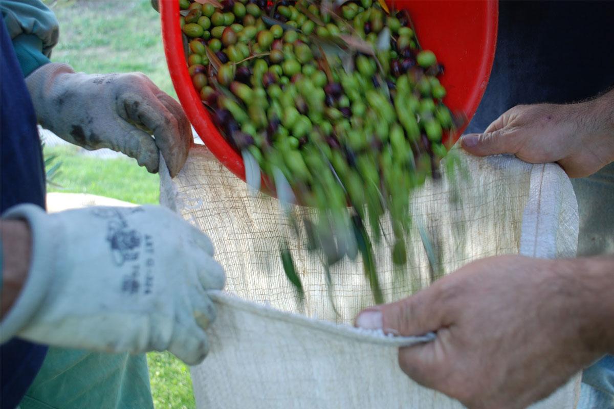racolta-olive-poggiarina-2008-049.jpg