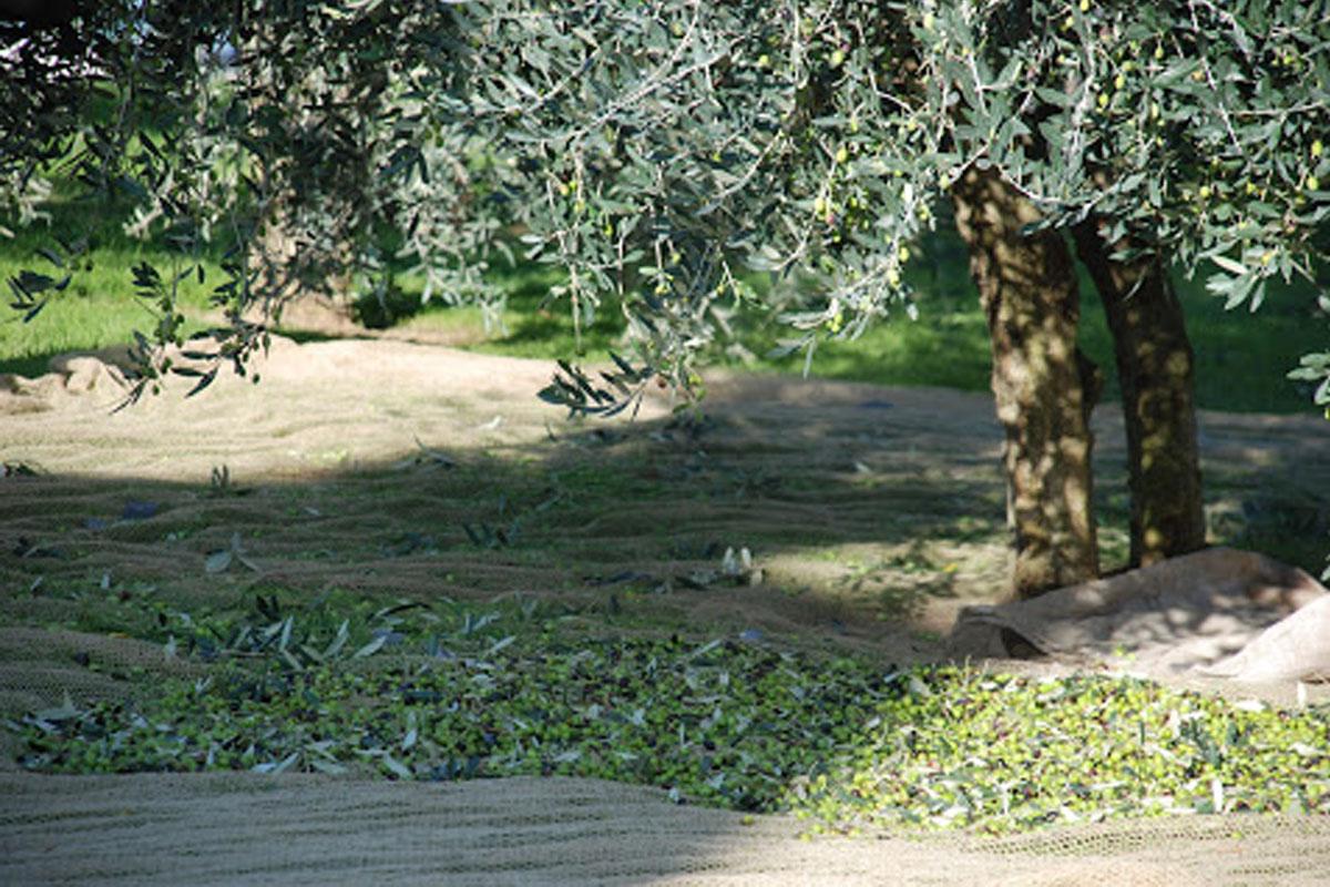 racolta-olive-poggiarina-2008-080.jpg