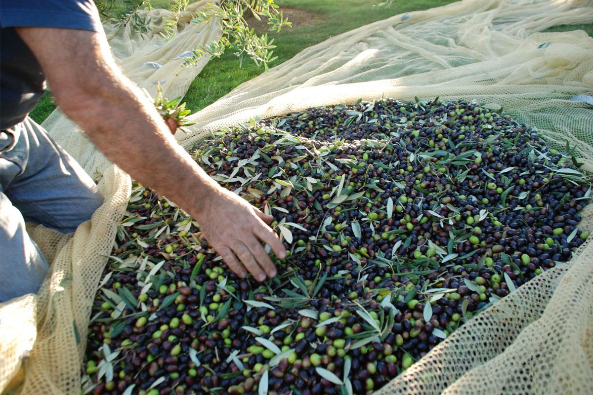racolta-olive-poggiarina-2008-097.jpg