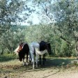ri_cavalli
